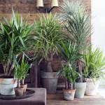 kamerplant_yucca