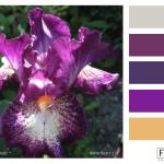 FASE13_purpleiris_hues